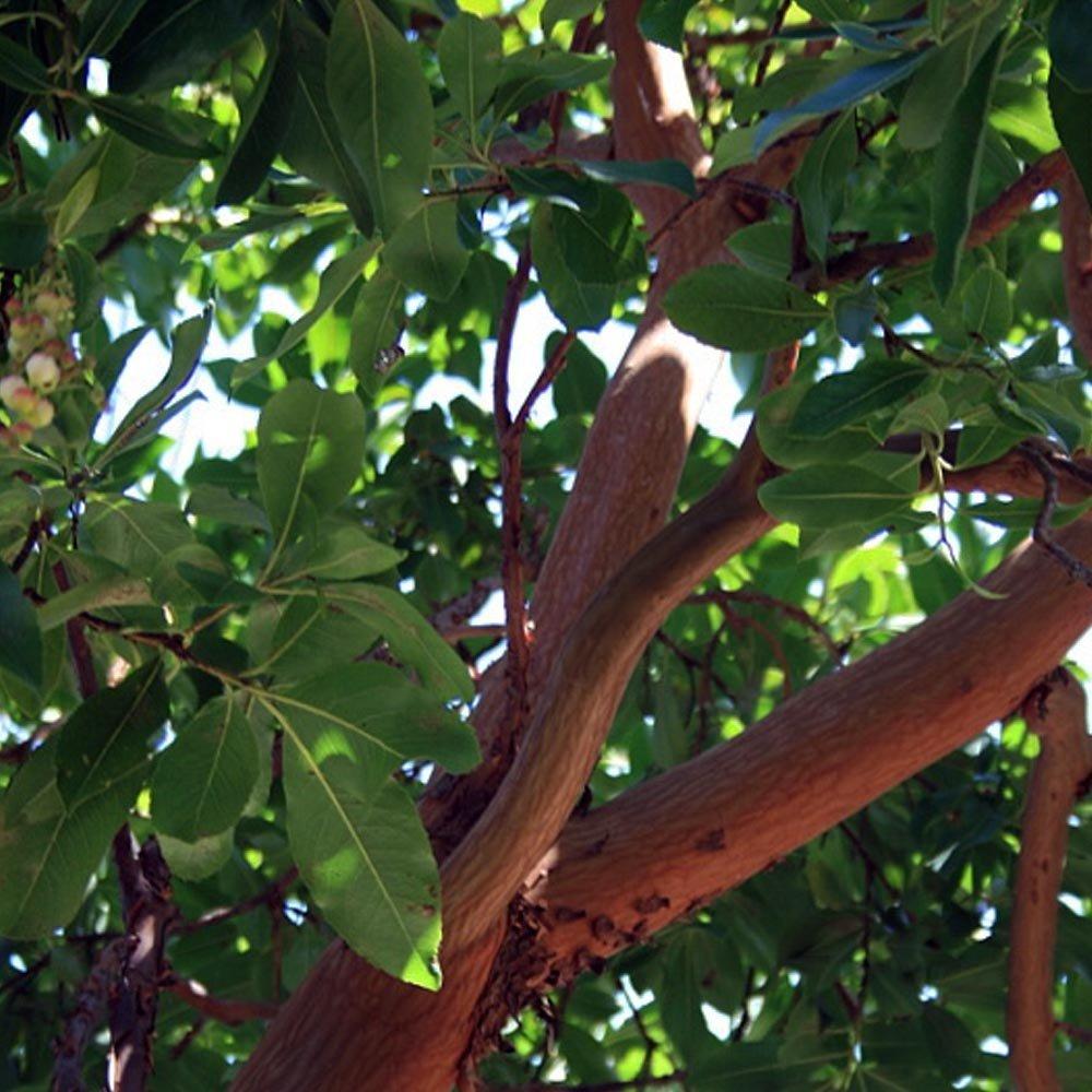 arbutus marina strawberry tree - photo #28