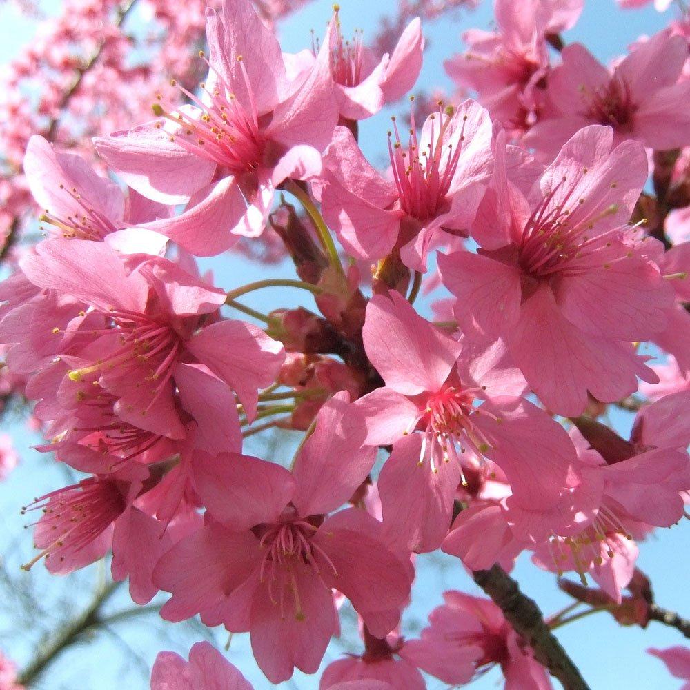 prunus collingwood ingram flowering cherry trees. Black Bedroom Furniture Sets. Home Design Ideas