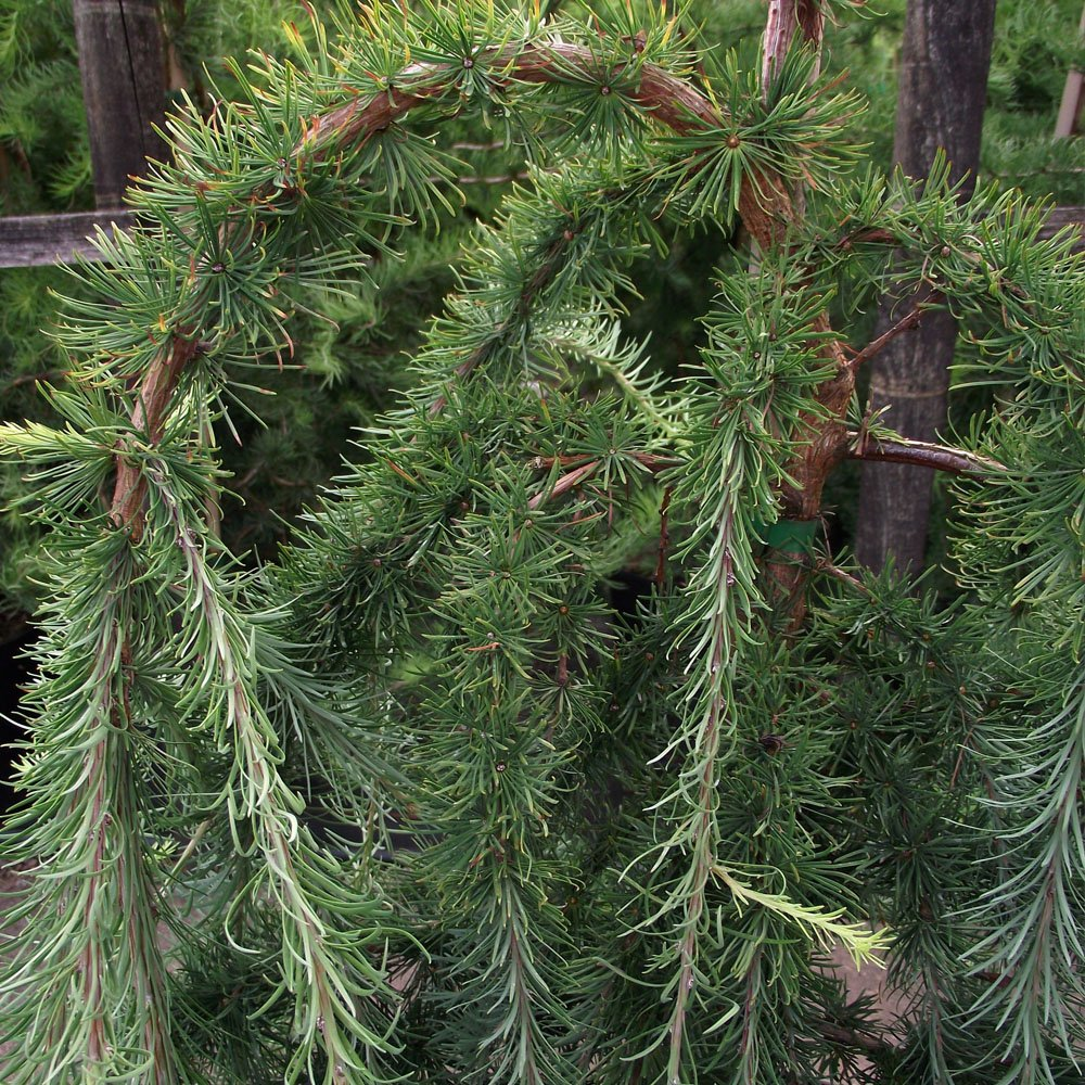 Larix kaempferi stiff weeping japanese larch tree for Small decorative evergreen trees