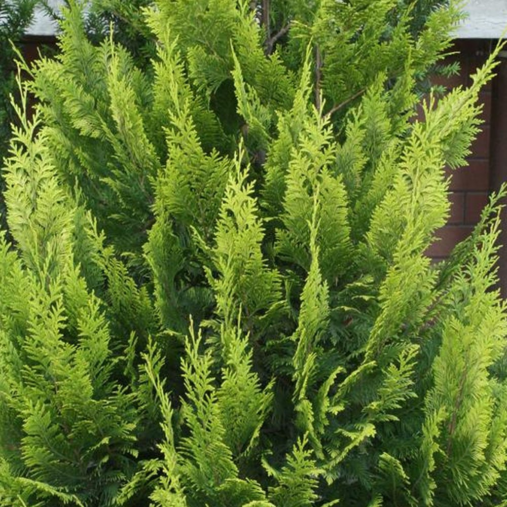 Small Ornamental Evergreen Trees: Chamaecyparis Lawsoniana Alumii Gold