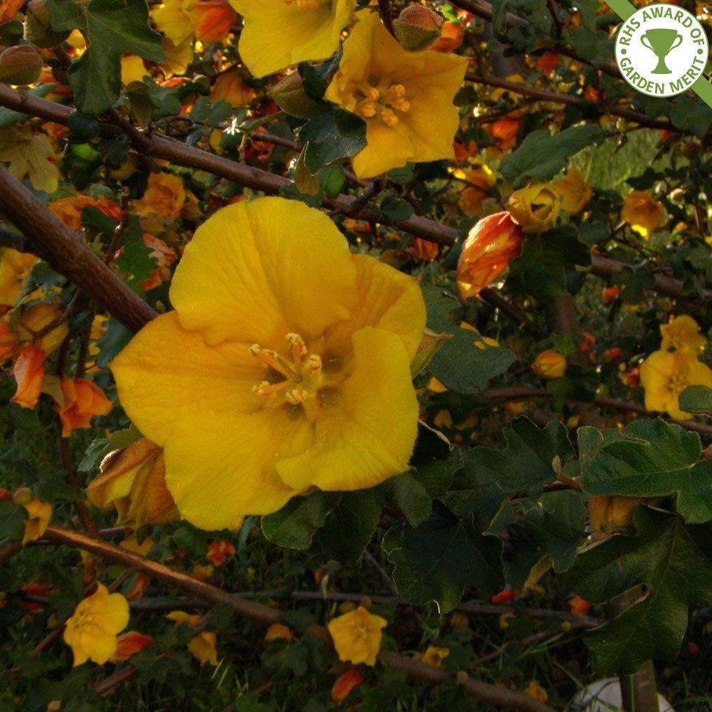 Small Ornamental Evergreen Trees: Fremontodendron California Glory