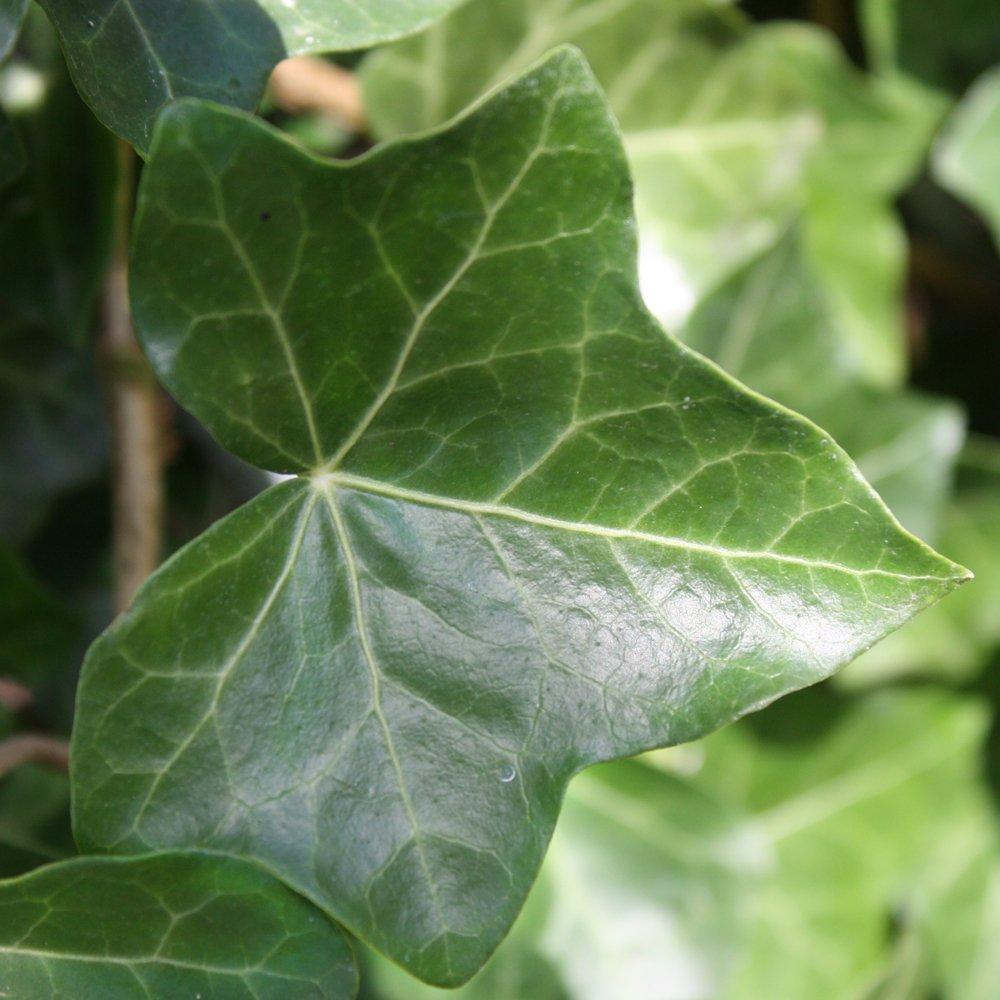 Small Ornamental Evergreen Trees: Buy Atlantic Or Irish Ivy