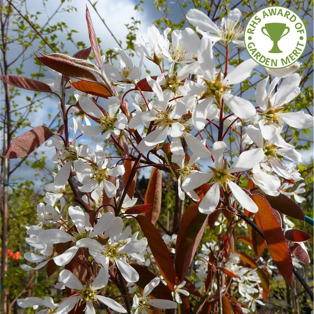 Amelanchier Lamarckii Single Amp Multi Stem Trees Snowy