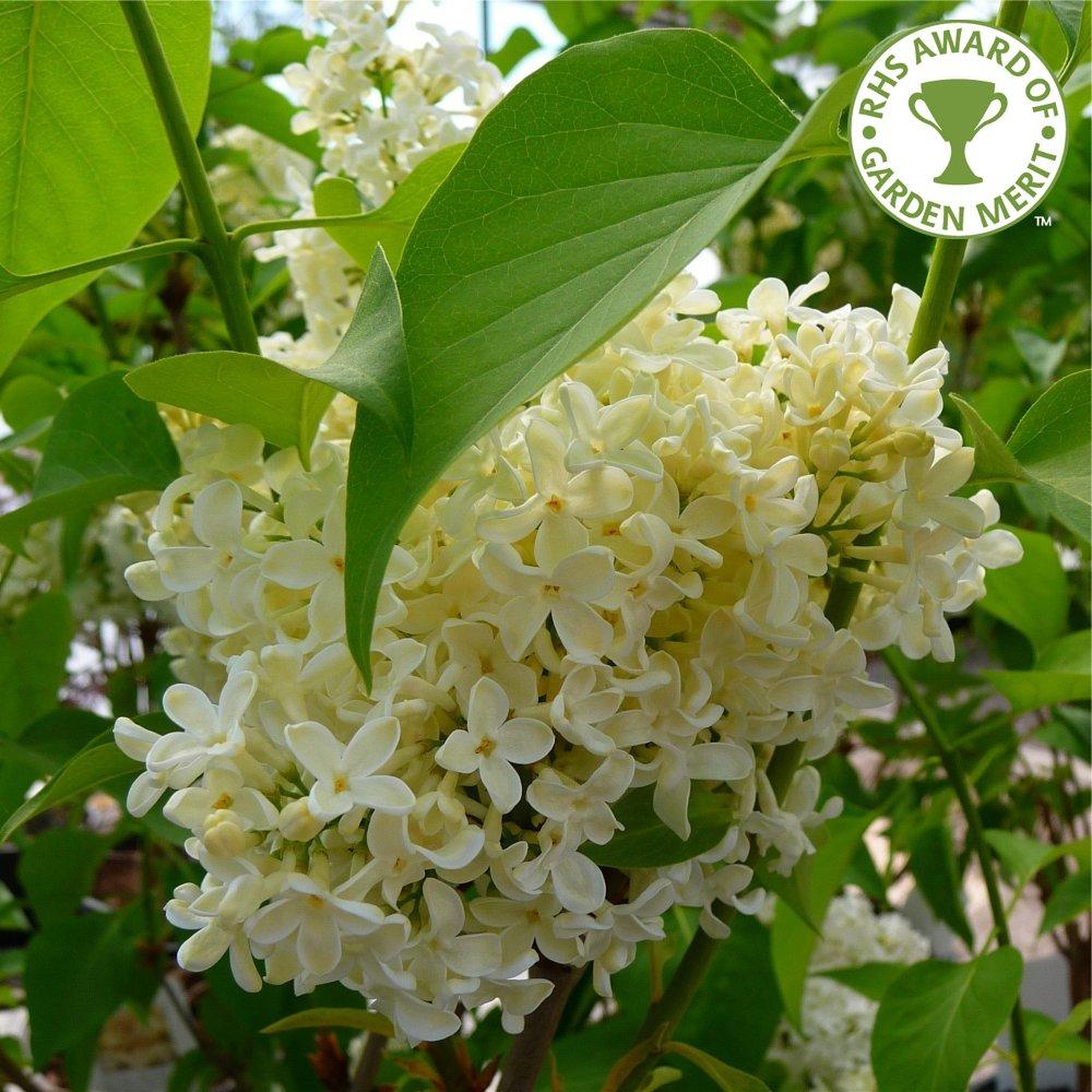 syringa vulgaris primrose buy yellow lilac trees bushes. Black Bedroom Furniture Sets. Home Design Ideas