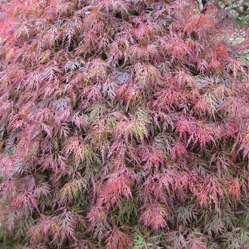 Acer palmatum dissectum orangeola buy weeping japanese maples for Weeping trees for small gardens