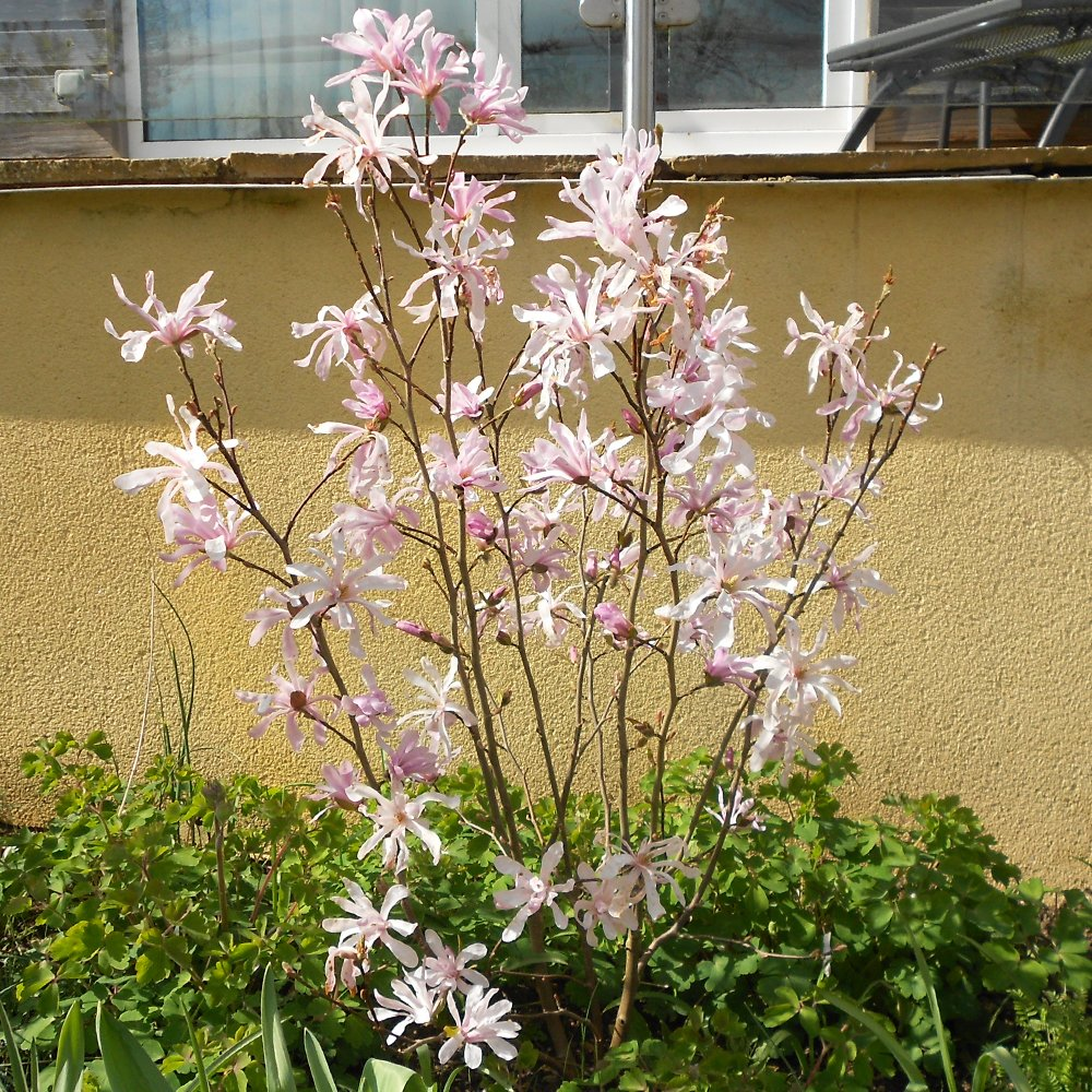 magnolia stellata rosea buy pink star magnolia shrubs. Black Bedroom Furniture Sets. Home Design Ideas