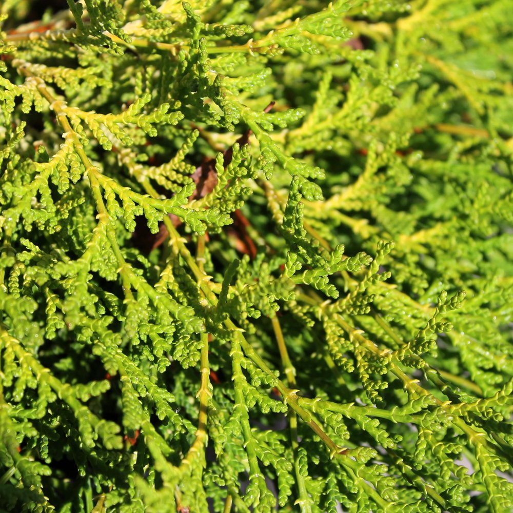 Small Ornamental Evergreen Trees: Chamaecyparis Obtusa Karamachiba