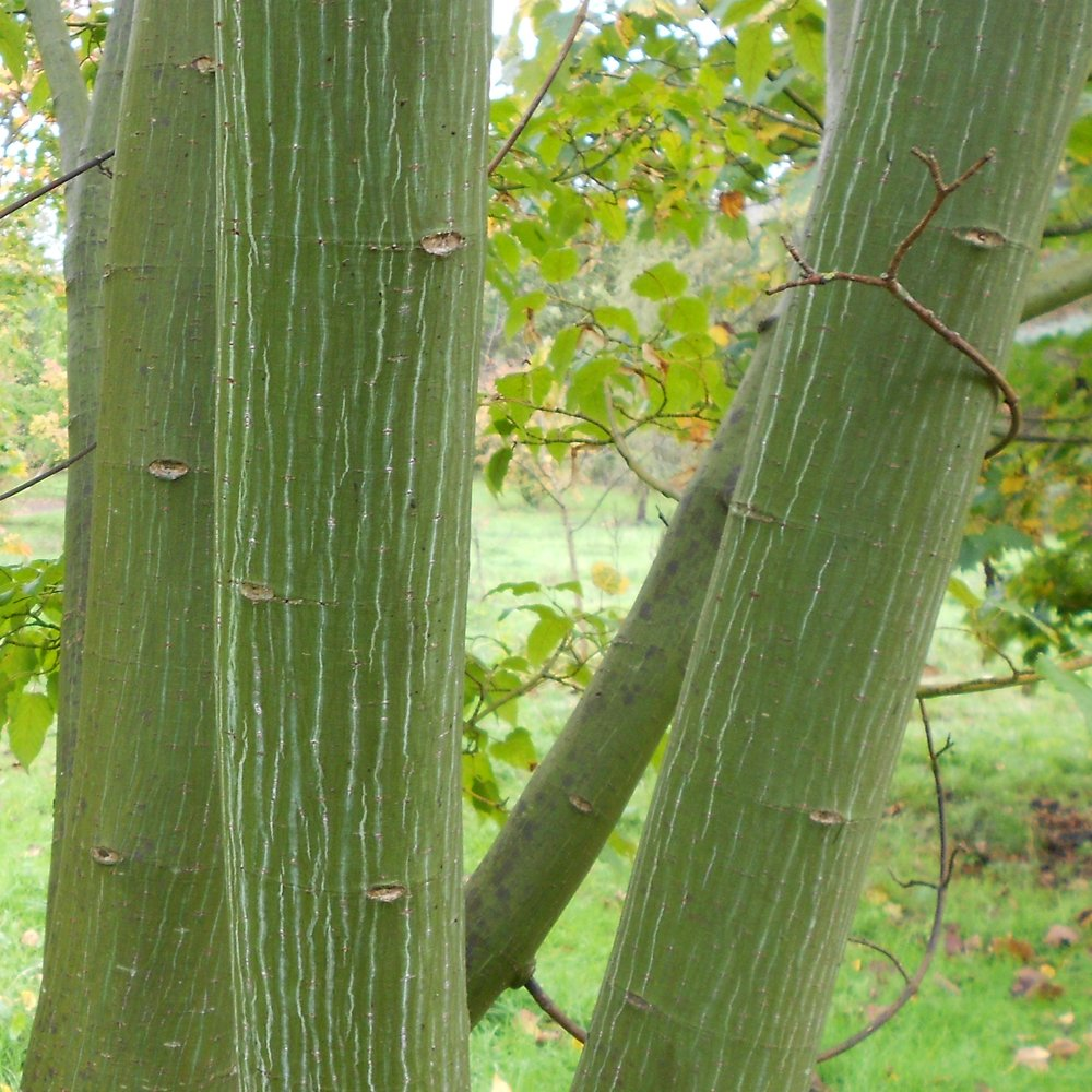 Acer capillipies buy snake bark maple trees for Purchase trees