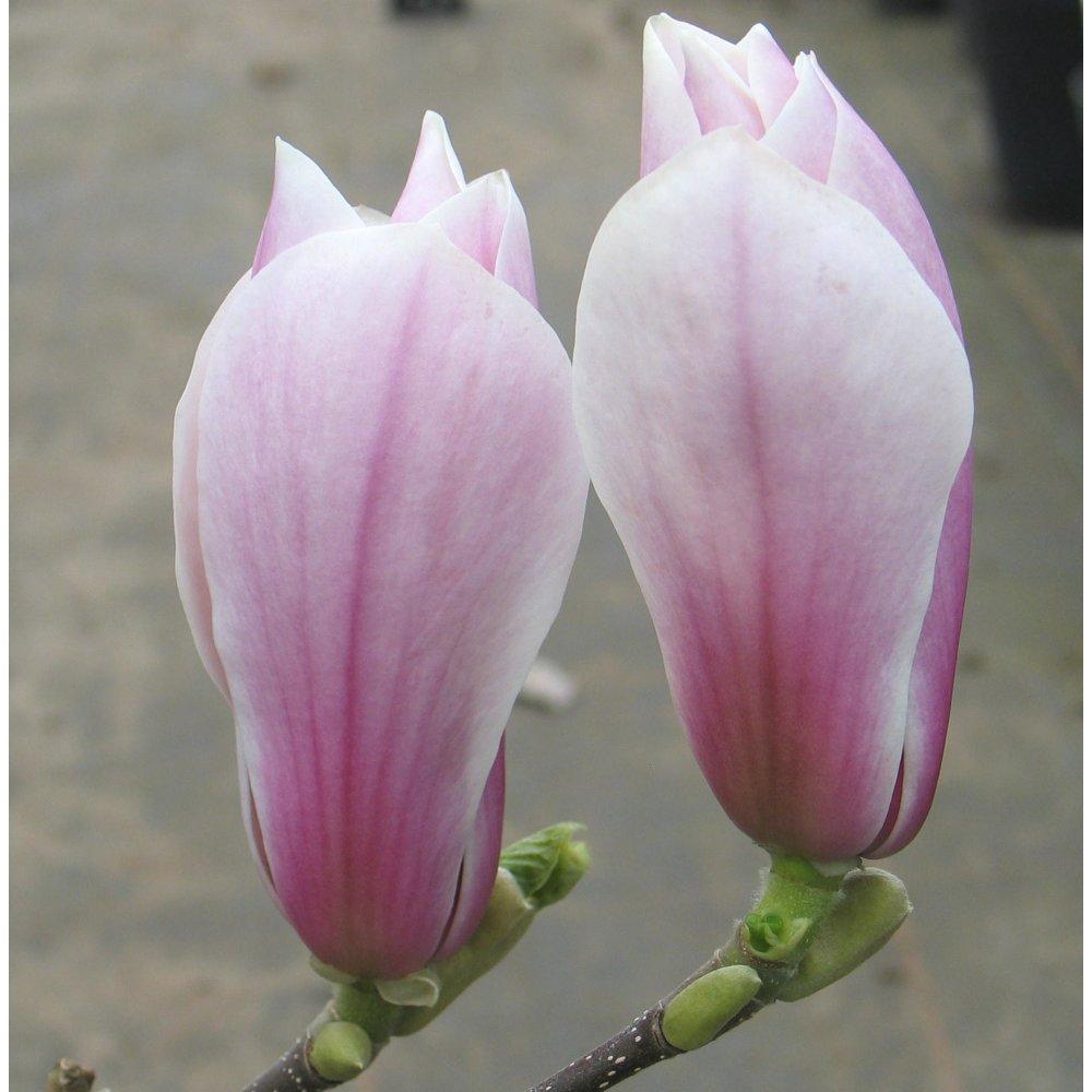 magnolia soulangeana 39 picture 39 buy saucer magnolia tree. Black Bedroom Furniture Sets. Home Design Ideas