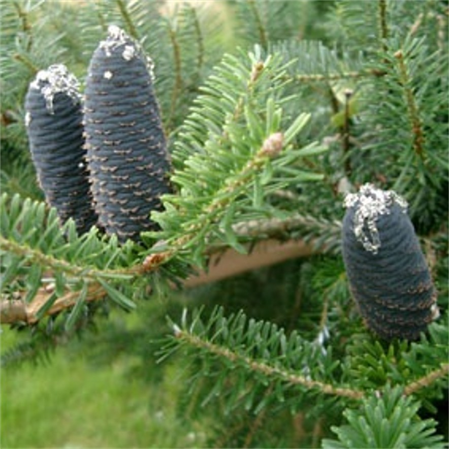 Small garden trees ornamental trees for Small trees suitable for small gardens