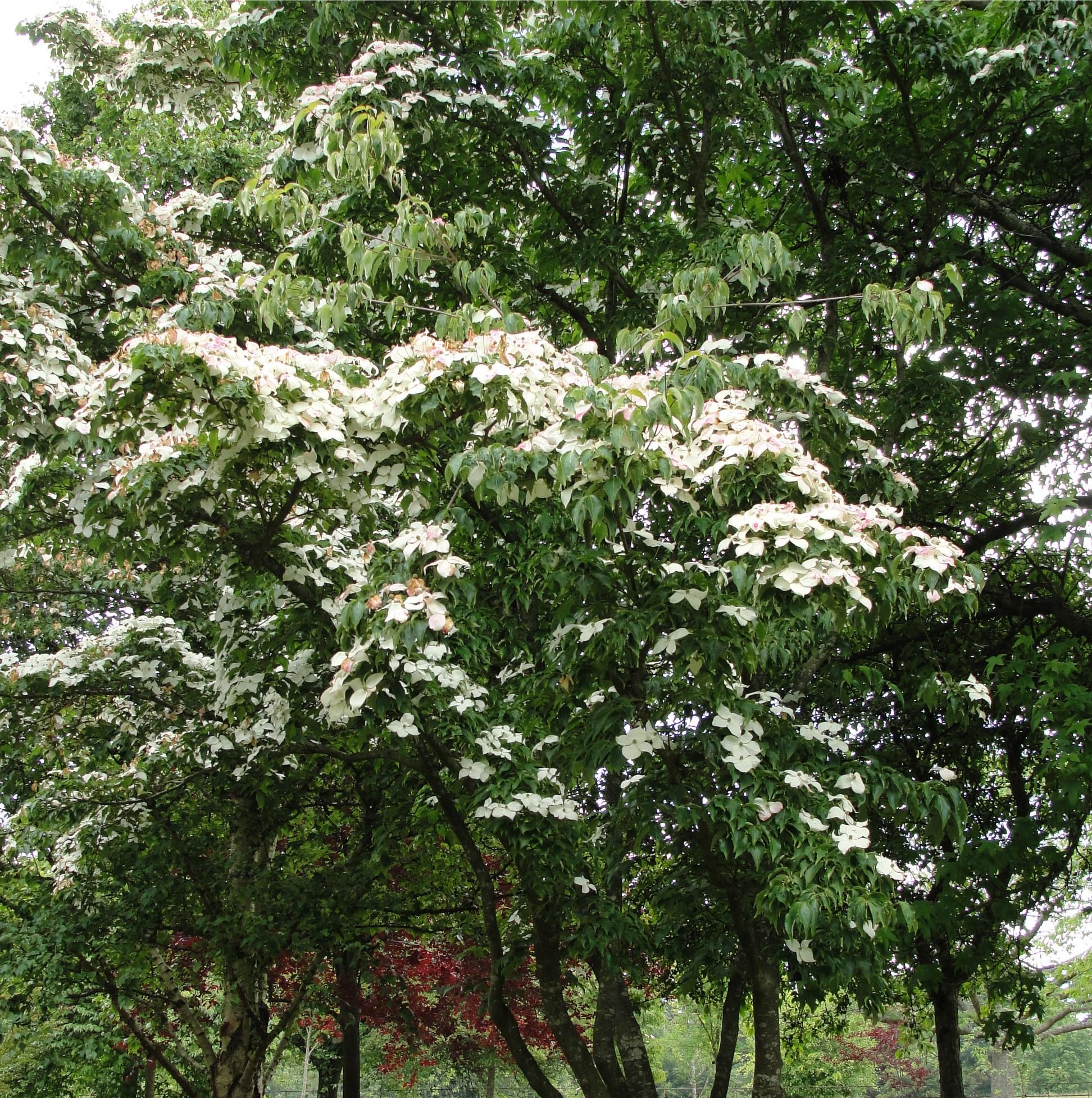 Small garden trees ornamental trees for Garden trees photos