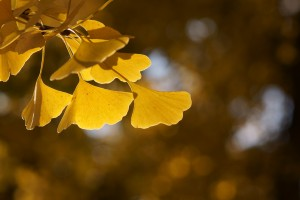 The leaves of the Ginkgo Biloba Tree transform into a warm yellow for a great show of autumn colour.