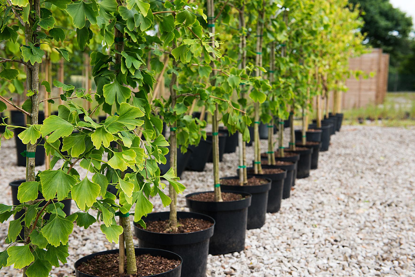 Indoor Plants Uk Ginkgo Biloba Tree Ornamental Trees Blog
