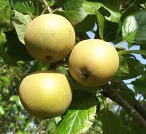 Russet Apple - Family Apple Tree