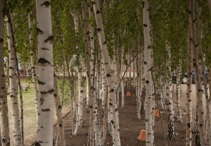 Silver Birch Trees in the city