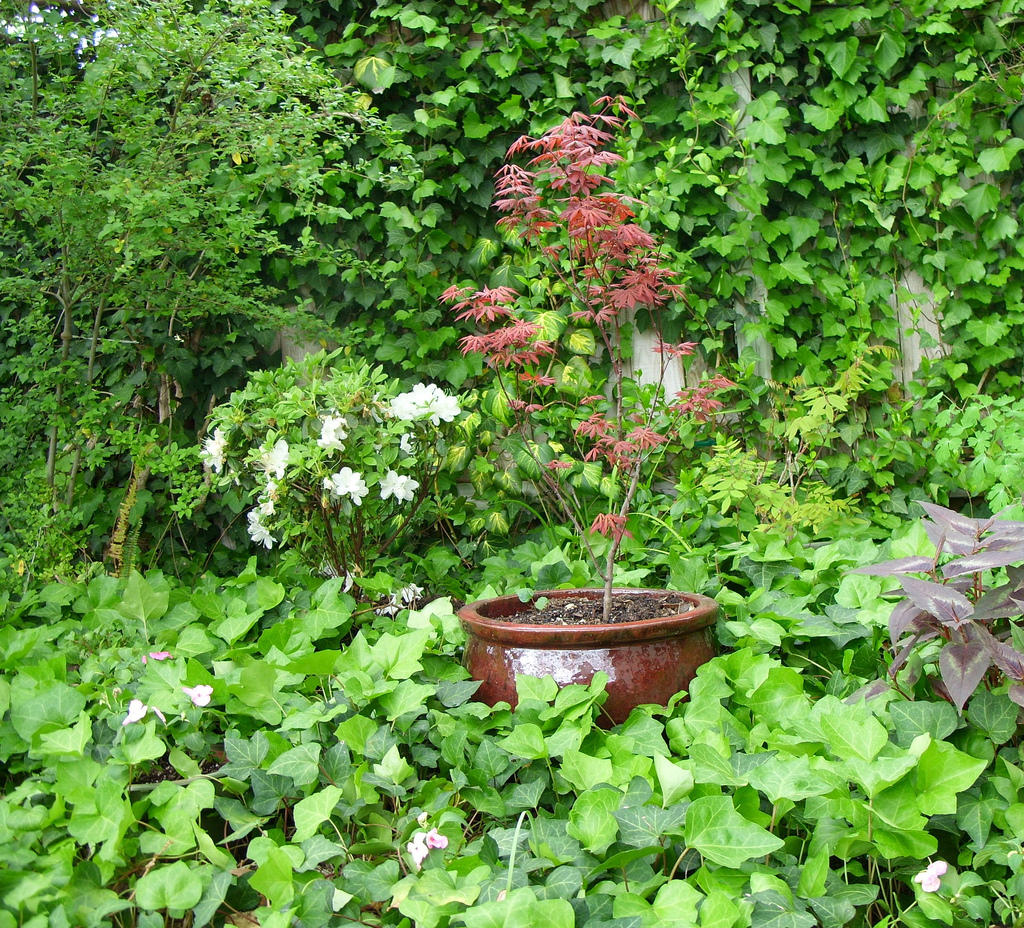 Pot grown maple trees ornamental trees blog for Ornamental trees that grow in shade