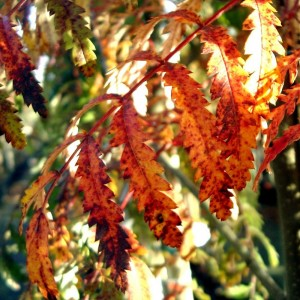 Sorbus Chinese Lace Tree