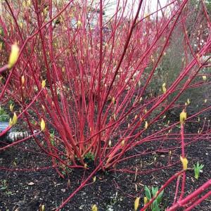 Cornus alba 'Sibirica' shrub