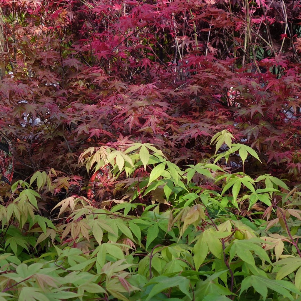 Various Japanese maple colours