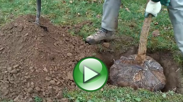 Video - Planting rootballed trees