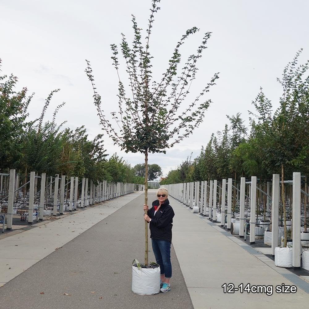 Acer Campestre Elsrijk Field Maple Trees For Sale