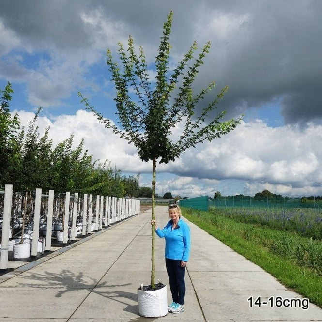 Acer Campestre Buy Field Maple Trees Online