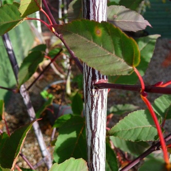 Acer Davidii Serpentine Snake Bark Maple Acer Trees