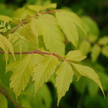 Acer Negundo Kellys Gold Trees Kellys Gold Ash Leaved Maple Tree