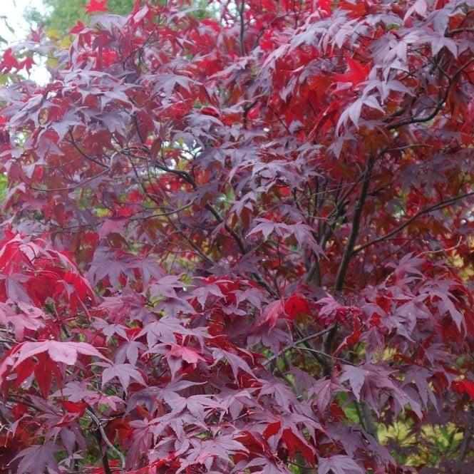 Acer Palmatum Atropurpureum Purple Japanese Maples For Sale