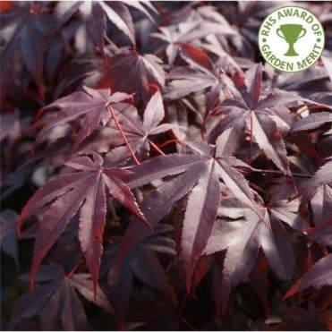 Acer palmatum 'Bloodgood' Japanese Maple tree