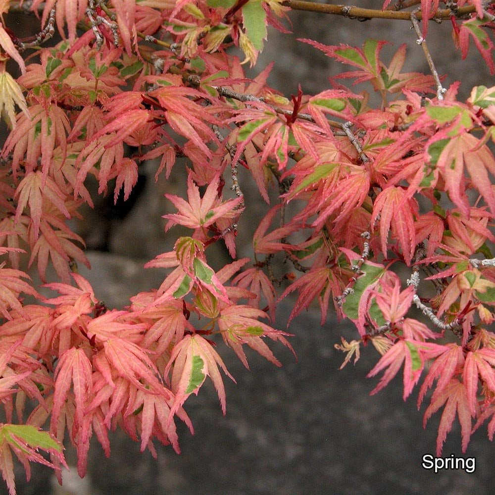 Acer Palmatum Butterfly Buy Variegated Japanese Maple Trees