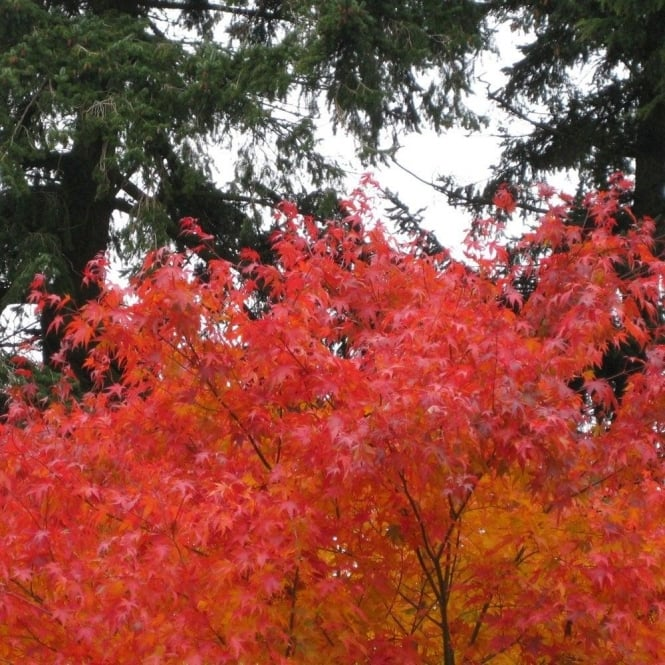Acer Palmatum Cascade Buy Orange Weeping Japanese Maple Trees