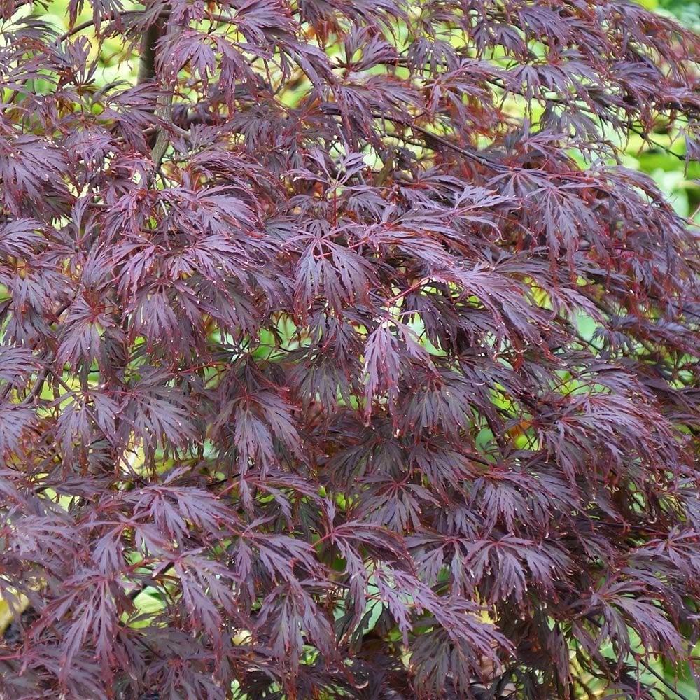 Acer Palmatum Dissectum Atropurpureum Purple Lacy Japanese Maples