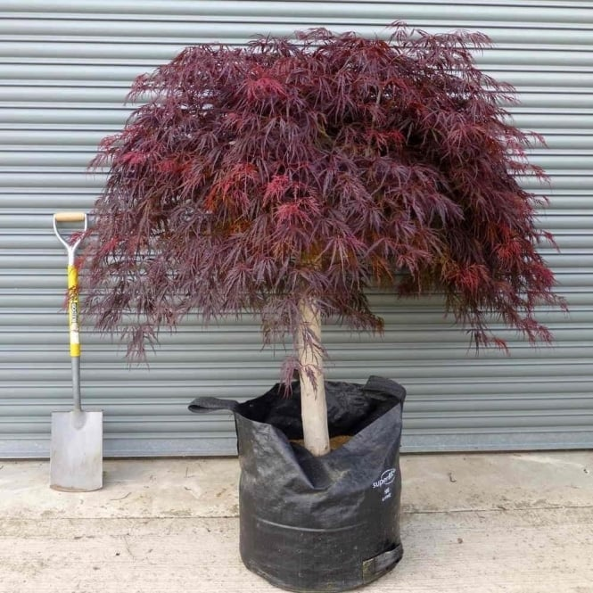 Acer Palmatum Dissectum Crimson Queen Red Weeping Japanese Maple