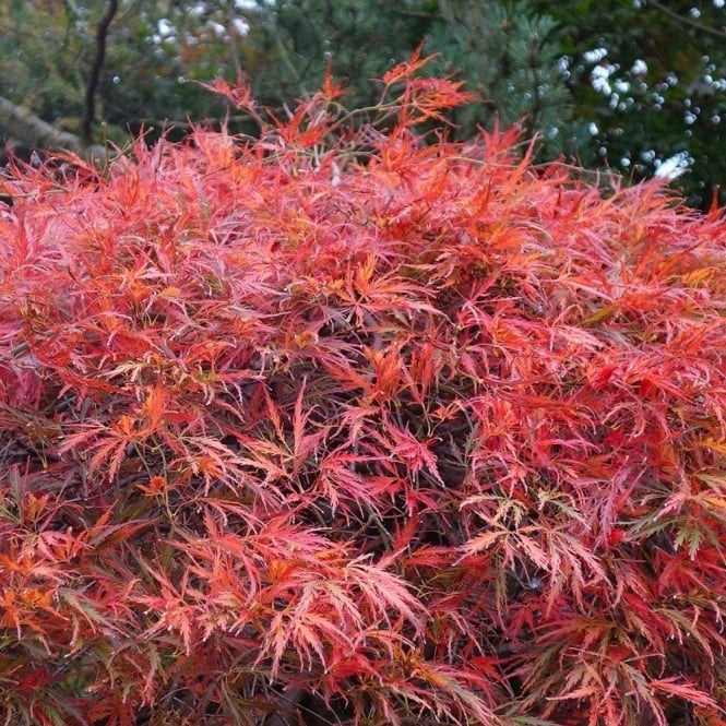 Acer Palmatum Dissectum Garnet Buy Red Japanese Maple Trees