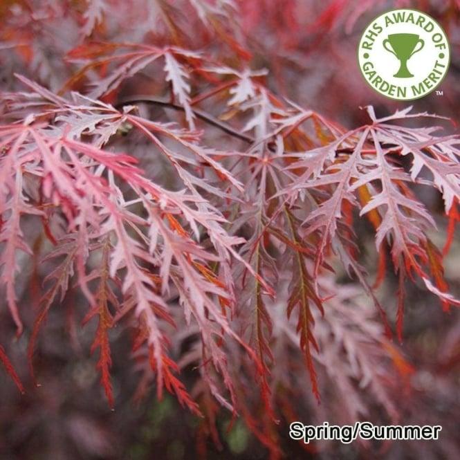 Acer Palmatum Dissectum Garnet Tree
