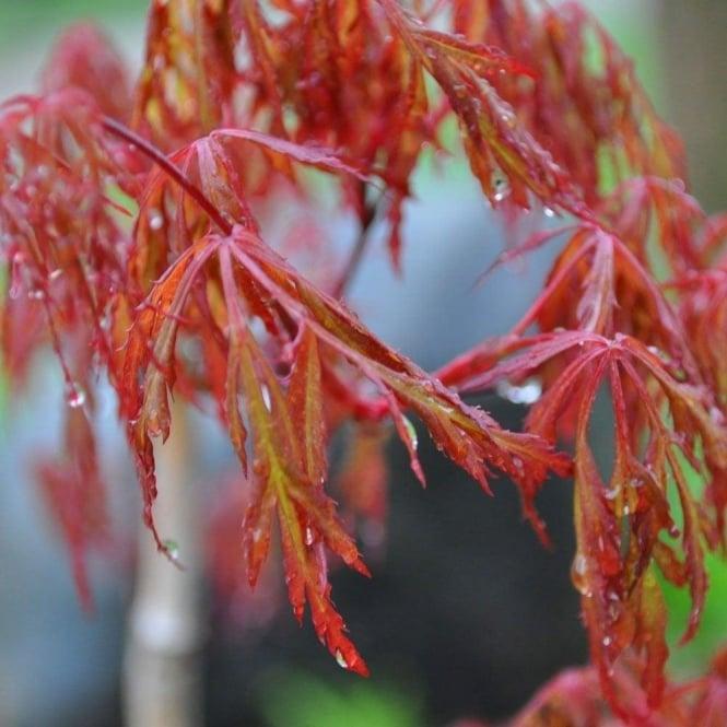 Acer Palmatum Dissectum Orangeola Buy Weeping Japanese Maples