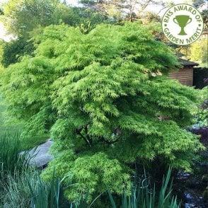 Acer Shirasawanum Jordan Jordan Full Moon Maple Trees For Sale
