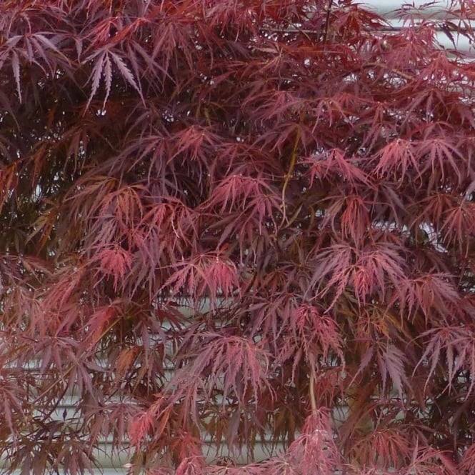 Acer Palmatum Dissectum Tamukeyama Buy Lacy Japanese Maples