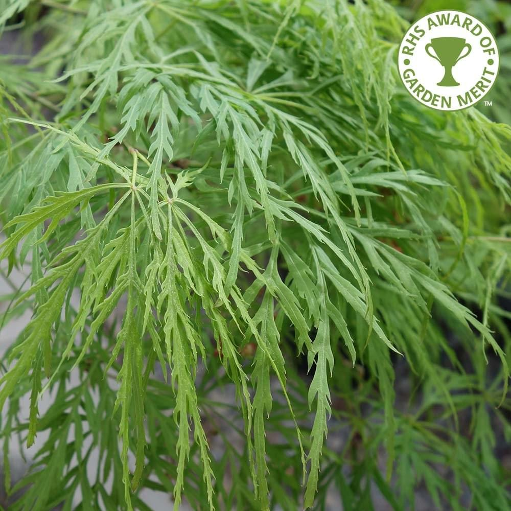 Acer Palmatum Dissectum Buy Small Weeping Japanese Maples