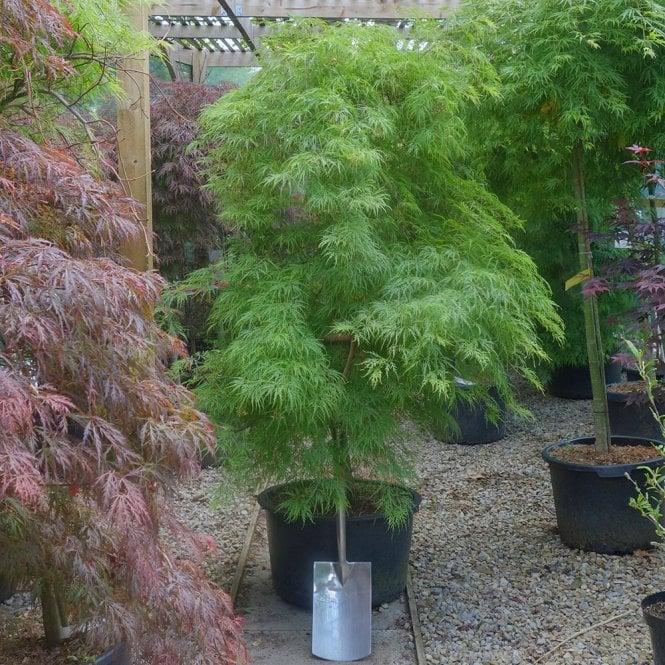Acer palmatum Dissectum Tree