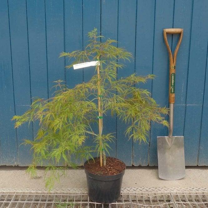 acer palmatum dissectum viridis tree p350 7431 medium