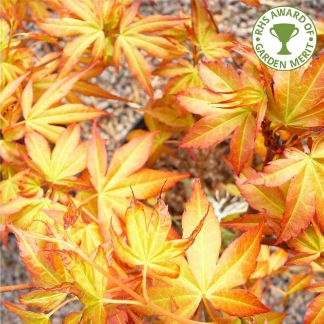 Acer Palmatum Katsura Orange Japanese Maple Trees For Sale