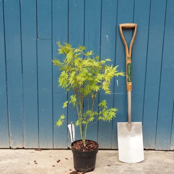 Acer Palmatum Orange Dream Buy Orange Japanese Maple Trees