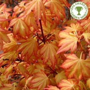Acer Shirasawanum Aureum Buy Golden Moon Shirasawa Maple Trees