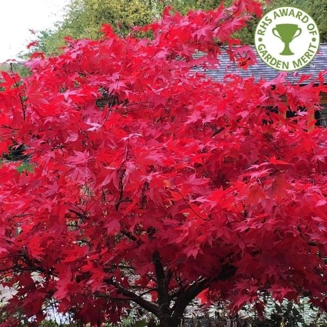 Mature japanese maple tree