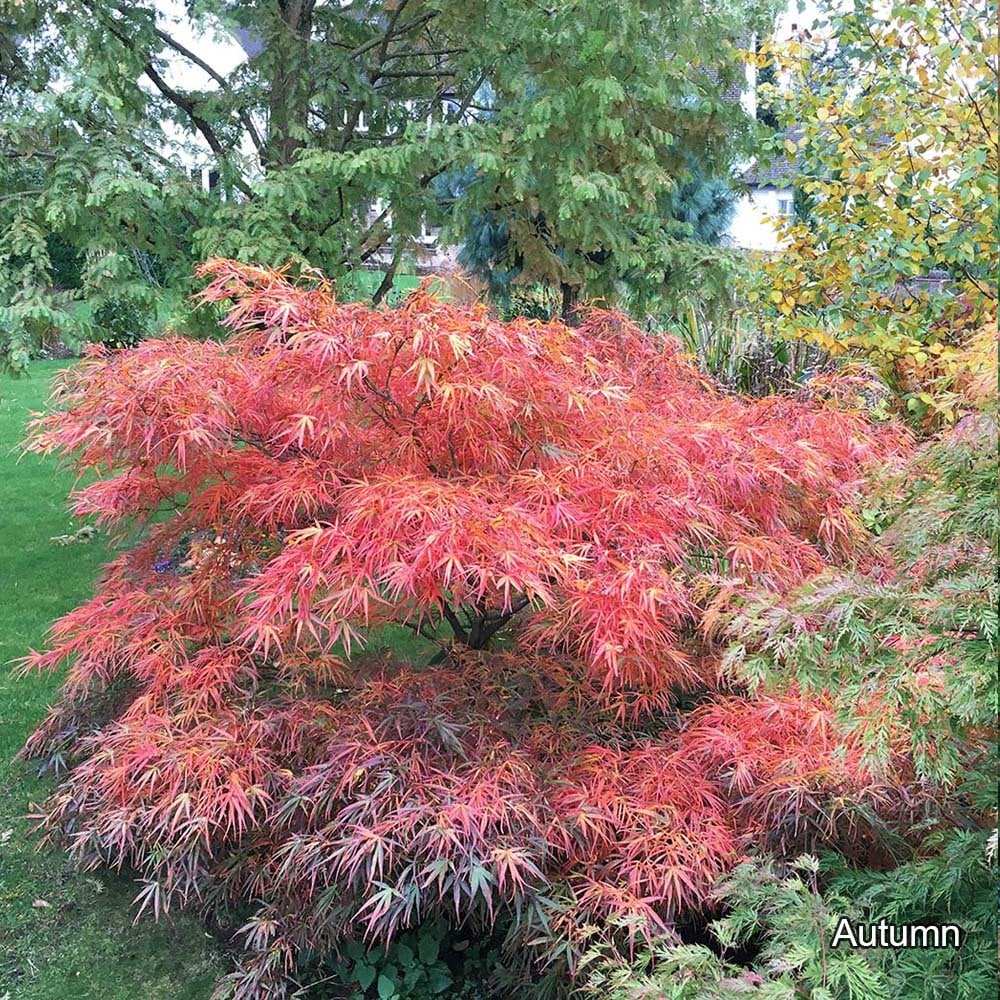 Acer Palmatum Red Pygmy Dwarf Japanese Maple Trees For Sale