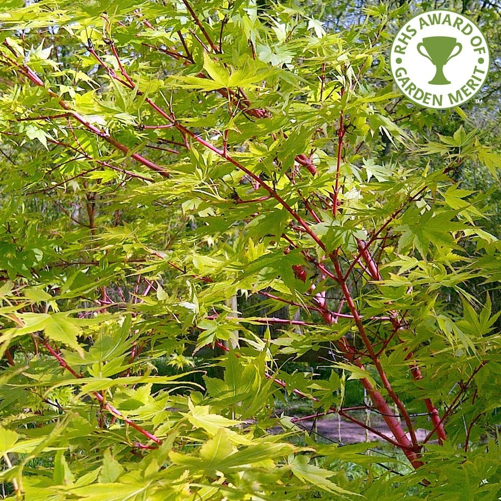 Acer Palmatum Sango Kaku Buy Coral Bark Japanese Maple Trees