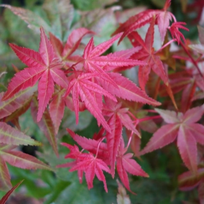Acer Palmatum Shin Deshojo Tree