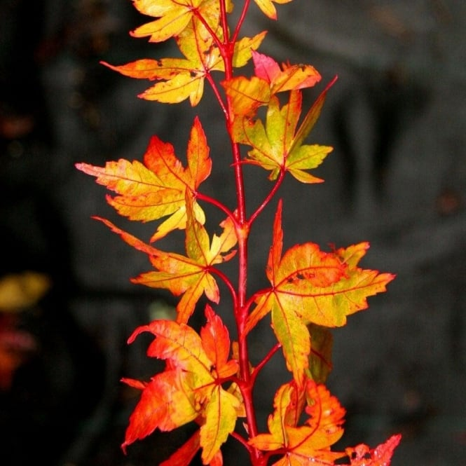 Acer palmatum 'Winter Flame' Tree